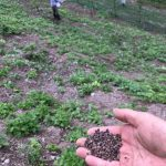 「焼畑そば栽培2018(中編)」福井県美山町で行った焼畑そばの播き直しから収穫作業。