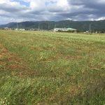 30年度 福井県産秋そば(福井在来)生育状況:2度の大型台風が過ぎ、丸岡町(丸岡在来)そば圃場の様子をお伝えします。
