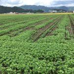 30年度 福井県産秋そば(福井在来)生育状況:ソバ播種後の雨に恵まれず干ばつで発芽しない圃場が続出。