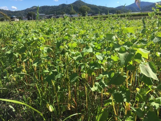 令和元年 今庄在来種を栽培する福井県南越前市(旧今庄町)のそば圃場。