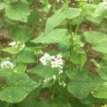 2018年「越前ふくい夏の新そば」は播種が終わり、ソバの花が開花しました。