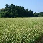 播種用(種まき)に適したそばの種の販売について。自家製粉用の玄そばは種ソバとして使えるのか?