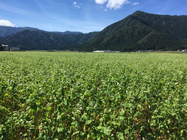 令和元年 福井県大野市に広がる大野在来種のそば圃場は、まっすぐ伸びていて順調です。
