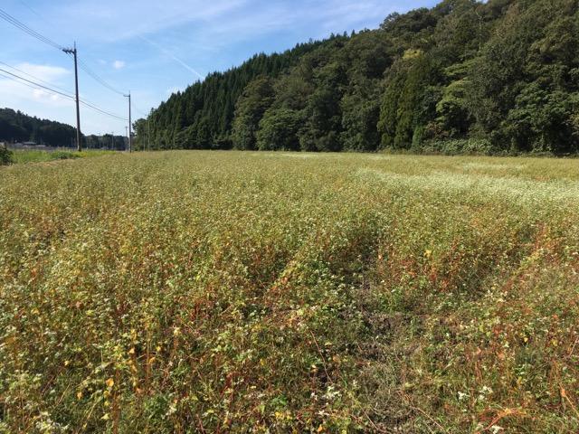 30年度 福井県産秋そば(福井在来)生育状況:平野部の丸岡町の圃場は、台風の影響で湿害が出ています。