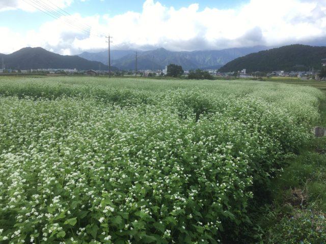 奥越前・勝山市で満開を迎える「大野在来そば」は、天気に恵まれてすくすくと育っています。