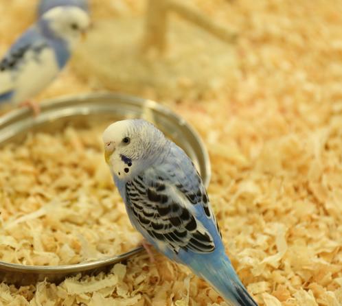 鳥類の飼料・エサ用の玄そば(そばの実)を選ぶポイントをご紹介します。